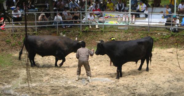 牛オーラセーは沖縄の闘牛大会☆現代に残る伝統娯楽